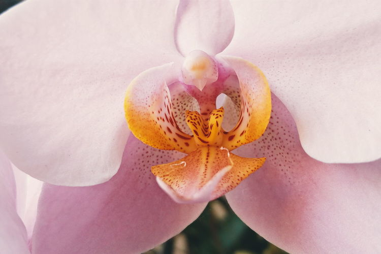 Close-Up Of Pink Orchid Blooming Outdoors