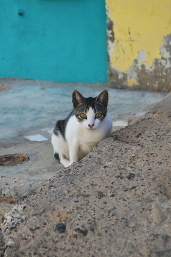 Cats along the streets is São Vicente, Cape Verde. Capeverdean Cat Cat Domestic Cat Pets One Animal Feline Domestic Cabo Verde Cats São Vicente Sao Vicente Island Cape Verde Cape Verde Islands Blue And Yellow Black And White Cat Streetcat Street Animals