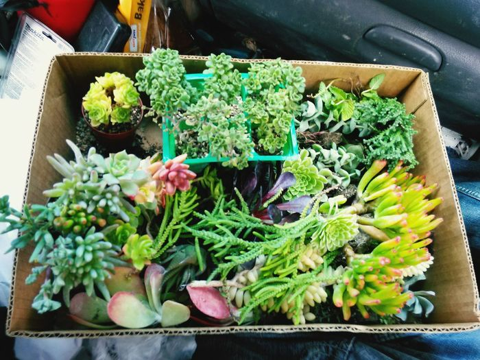 The box of Succulent Plants Baby Succulents and Cuttings i got at my brother's and mom's house. I chose varieties that are smalland a few that look like Miniatures as i will be using them in a setting among concrete rocks i made around a fishpond that will suggest a Landscape of little trees and forests. I'll use some air ferns and more delicate plants in areas where they'll be in continual exposure to water droplets from the waterfalls i am installing. Succulent Plant Succulentgarden Droughtresistant Thedroughtisreal Nature. Succulents