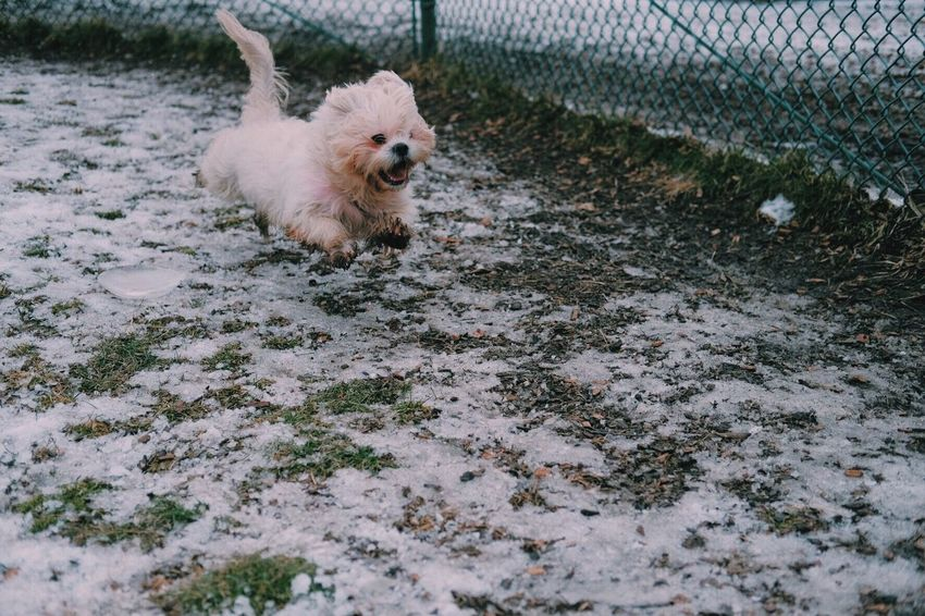 Dog Pets Domestic Animals Animal Themes Mammal One Animal High Angle View No People Outdoors Day Nature Park Dog Park Shihtzu Running Mid-air Cute Winter Snow Cold White Action