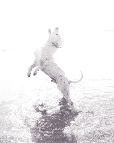 Staffy Staffordshire Bull Terrier Beach White Motion Jumping Saundersbeach Outdoors Water Mates Play Spielplatz Dog Hund Das Meer Weiss Tiere // Animals EyeEmNewHere HTC Android EyeEmNewHere