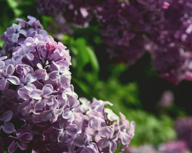 Purple Flower Nature Petal Lilac Pink Color Beauty In Nature Plant Focus On Foreground Hydrangea Growth Close-up Fragility No People Outdoors Day Flower Head Freshness
