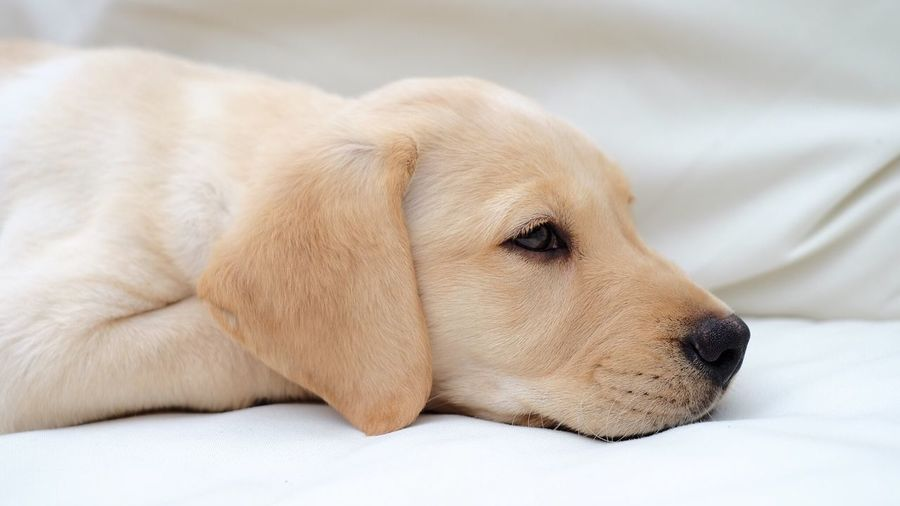 Puppy One Animal Animal Themes Domestic Animals Pets Relaxation Dog Animal Head  Looking Away Resting Mammal Focus On Foreground Zoology No People Laziness Dogs Dog❤ Dogs Of EyeEm Dogstagram Dogslife Puppy PuppyLove Puppy❤ Puppy Face