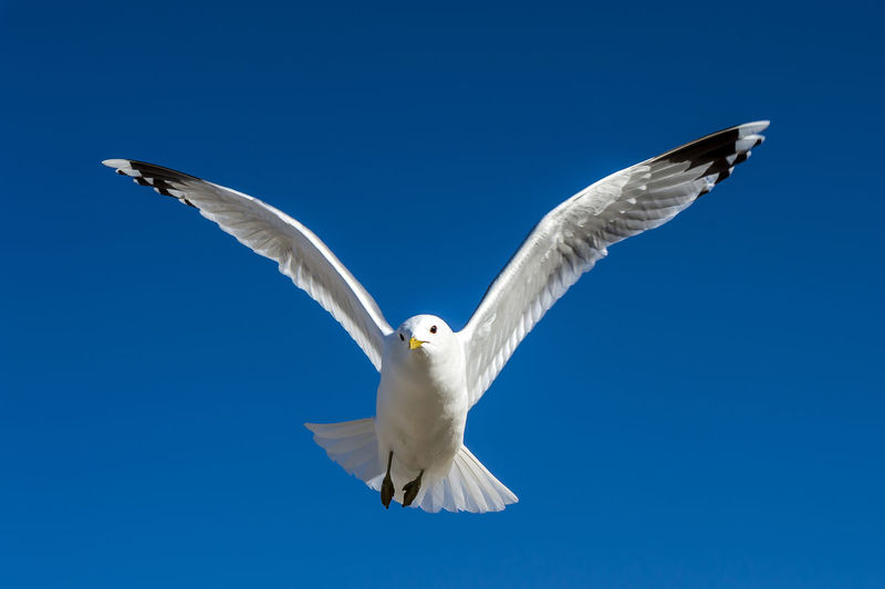 Animal Animal Themes Animal Wing Animals In The Wild Beauty In Nature Bird Blue Clear Sky Flight Flying Full Length Gull Low Angle View Nature No People One Animal Outdoors Seagull Spread Wings Wildlife Zoology