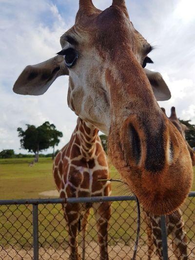 Giraffe Outdoors Animals In The Wild Safari Animals Calauit Calauitsafaripark Safari Park Palawan Coron, Palawan Philippines Travel Animal A New Perspective On Life