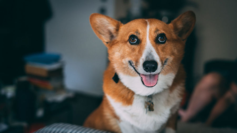 Mammal One Animal Domestic Animals Pets Vertebrate Domestic Looking At Camera Focus On Foreground Brown Animal Body Part Close-up Portrait Dog Canine Mouth Open People Indoors  Book Animal Eye Human Connection Corgi Dogs Of EyeEm Corgi :) Smile Mansbestfriend