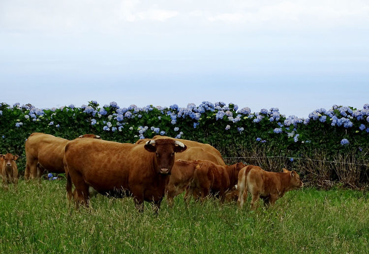 Azores Cow Cattle Agriculture Standing Sky Grass Livestock Landscape Domestic Cattle