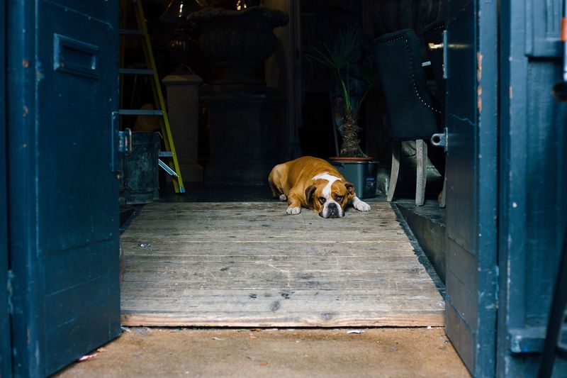 Dog Resting On Wooden Ramp Indoors