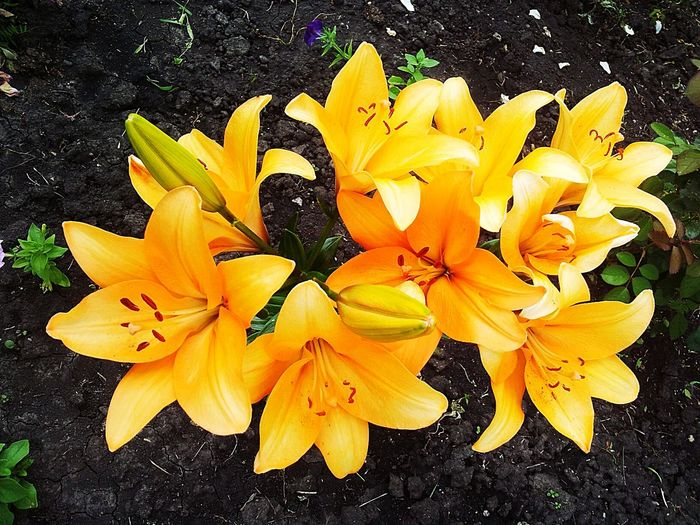 Lily Flowers Beautiful Nature Orange