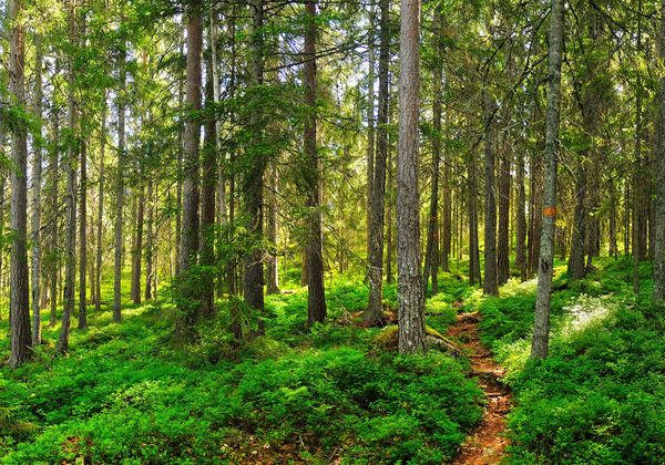 Forest Path Högakusten Sweden Beauty In Nature Day Forest Grass Green Color Högakustenleden Nature No People Outdoors Scenics Tranquil Scene Tranquility Tree WoodLand