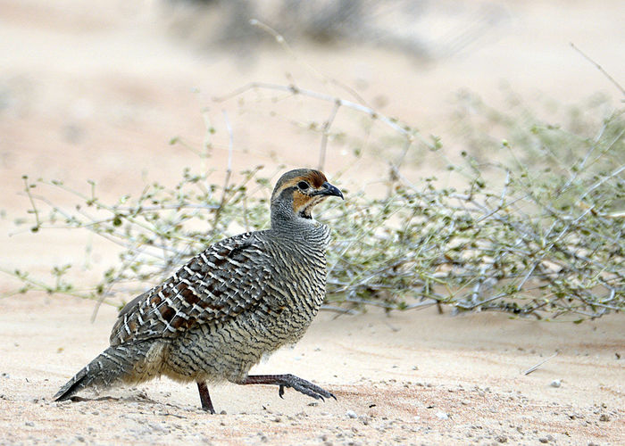 Grey Francolin at the Dubai Desert Conservation Reserve Animal Themes Animal Wildlife Animals In The Wild Bird Close-up Day Dubai Dubai Desert Dubai Desert Conservation Reserve Francolin Mourning Dove Nature No People One Animal Outdoors Perching UAE