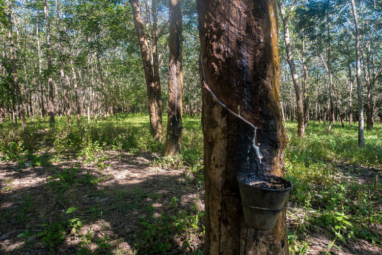 Hevea brasiliensis, Rubber tree Plantation. Agriculture Day EyeEm Best Shots EyeEm Nature Lover Forest Grass Growth Hevea Brasiliensis Industry Landscape Nature Nature No People Outdoors Pine Tree Plantation Rubber Tree Sky Tree Tree Trunk WoodLand