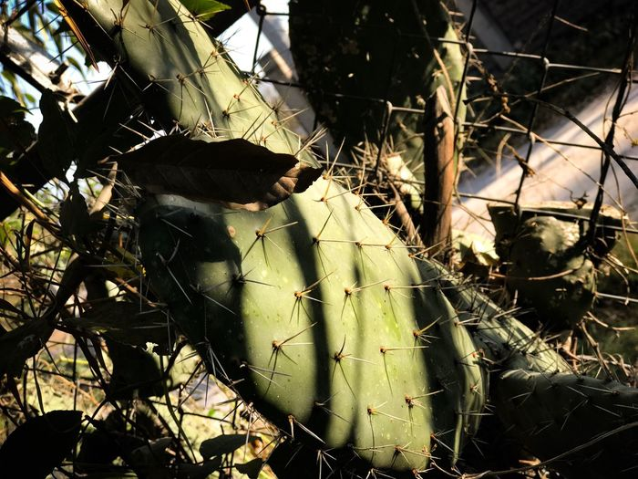 Nopal!🌵 Nature Cactus Finding New Frontiers Tourism Mexico Travel Destinations Adventures Leaf Plant Sunlight Growth No People Outdoors Day Close-up New Findings Traveling Wild Food Cactus Cactuslover Cactus Flower Cactus Garden Cacti