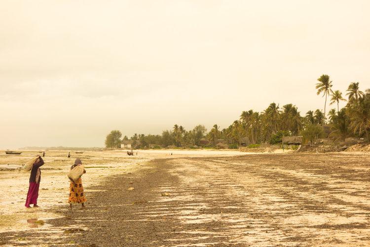 Sansibar Tansania Tanzania Working Zanzibar African Women Afrikanerin Beach Seagrass