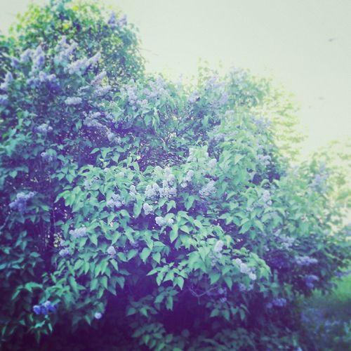 Spring in the City ^^ Nature Plants Purple Flowers Volzhsky Природа весна город волжский сирень цветы сиреневый фиолетовый пурпурный