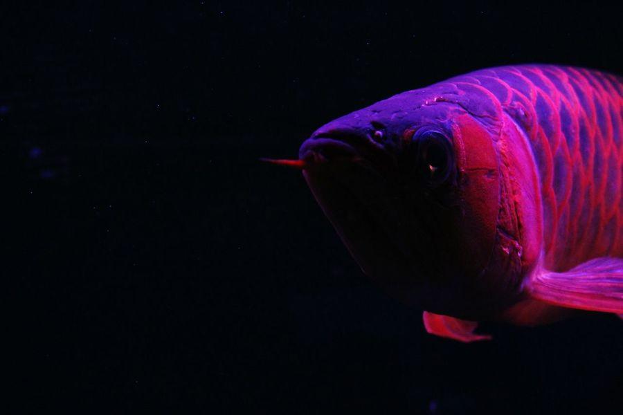 EyeEmNewHere Black Background Red Indoors  Animal Themes Aquarium No People Arowana Fish Underwater