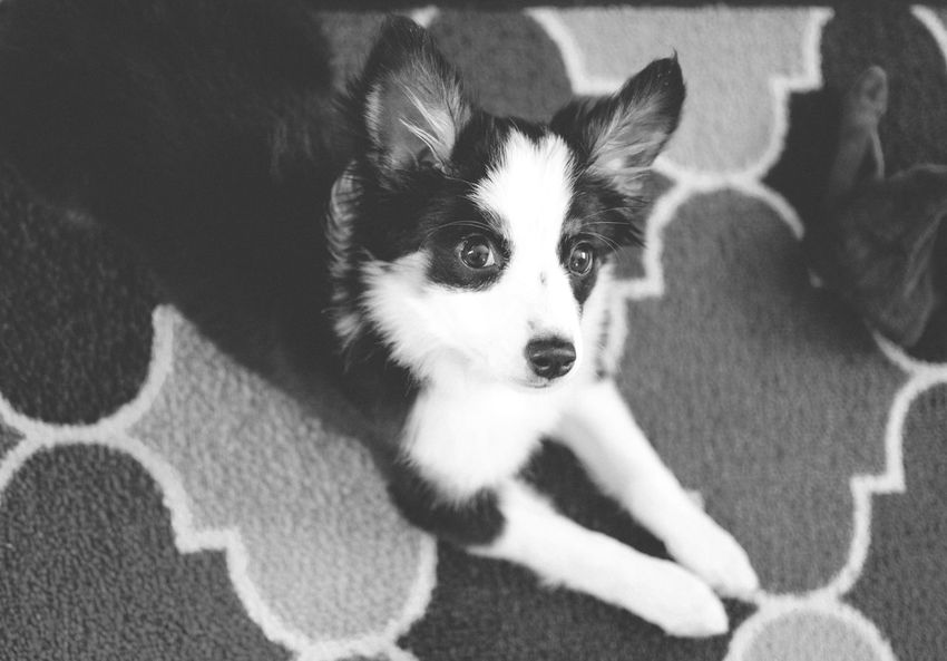 Aussie Aussie Shepherd Austrailian Shepherd Black & White Black And White Close-up Cute Cute Pets Cute Puppy Dog Domestic Animals Full Blooded Pet Pets Puppy Pure Breed Resting Say Hello To My Little Friend Shepherd