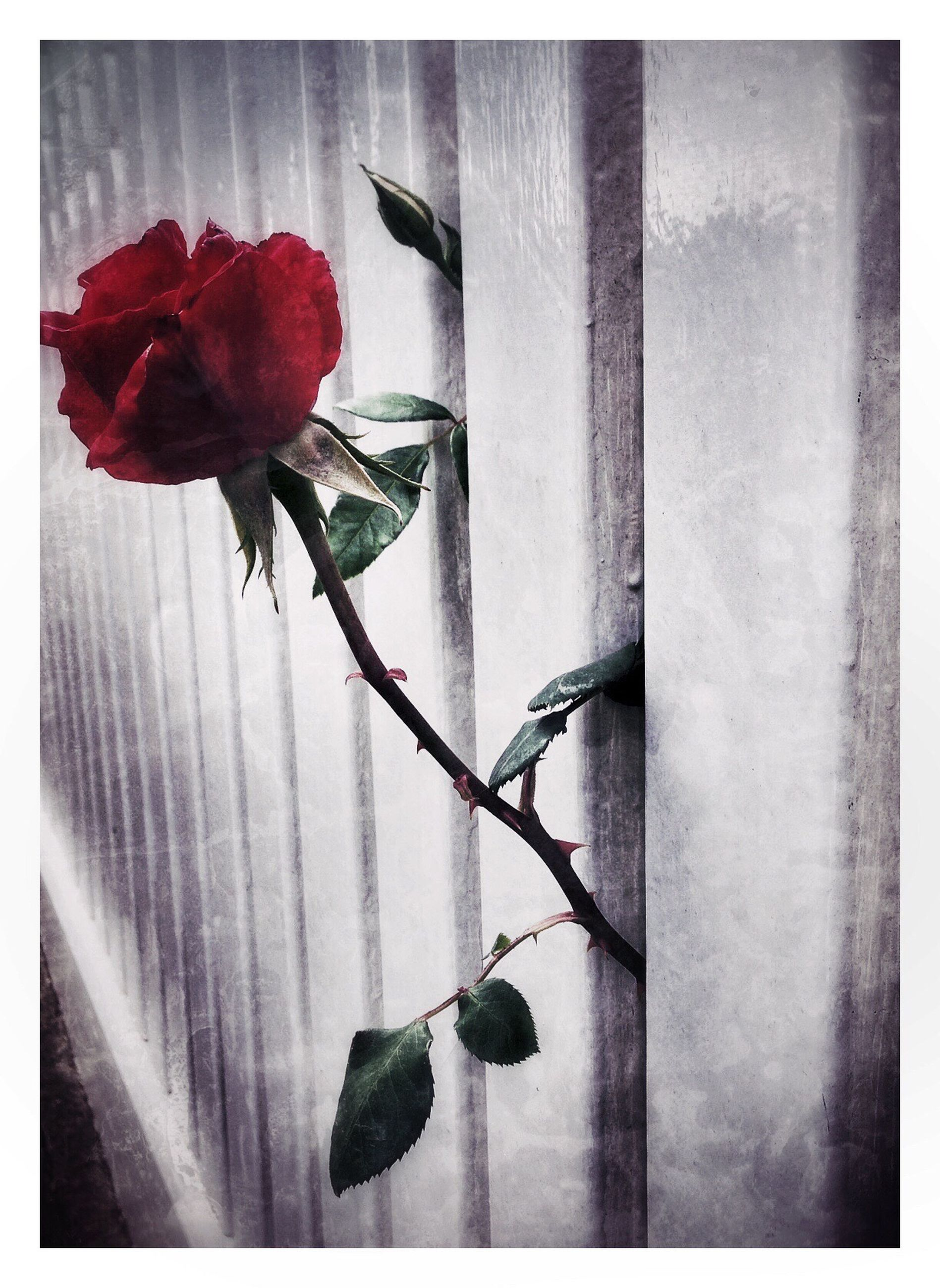 transfer print, flower, auto post production filter, fragility, window, plant, indoors, growth, close-up, wall - building feature, petal, leaf, window sill, red, stem, nature, freshness, built structure, day, glass - material