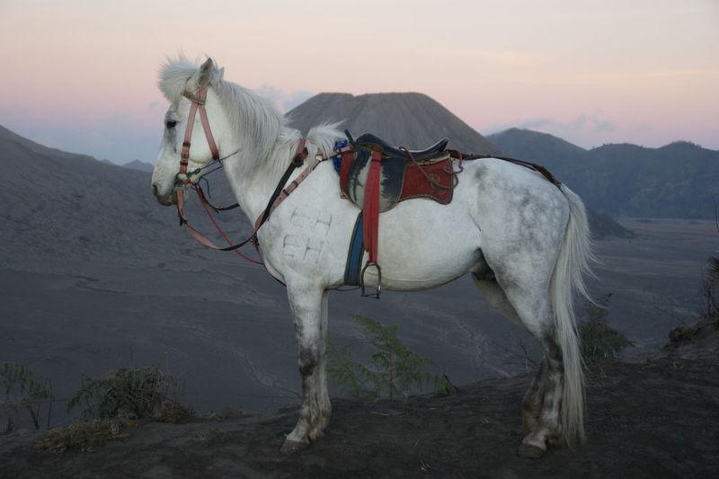 White Horse Standing On Hill At Dusk