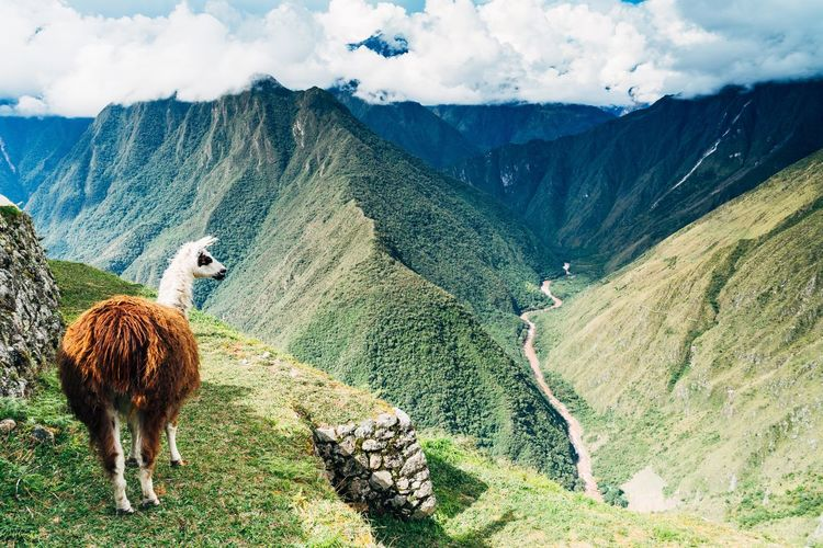 Llama Grazing On Landscape Mountains