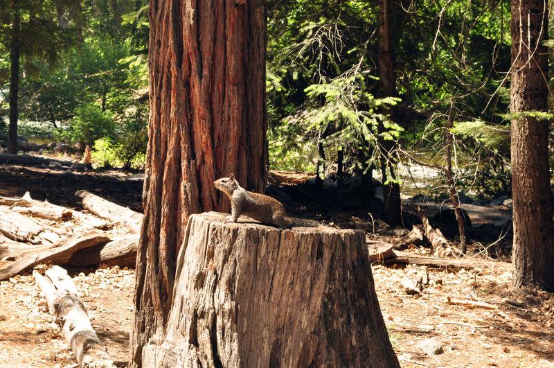 Squirrel on stump, Yosemite NP Squirrel Yosemite Yosemite National Park Animal Themes Animal Wildlife Animals In The Wild Close-up No People Squirrel On Stump Squirrel Posing Stump Tree Trunk