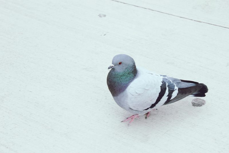 Pigeon on the streets Pigeon EyeEm Selects Animal Themes Bird Animal Animal Wildlife Animals In The Wild Vertebrate One Animal No People Winter Day Nature High Angle View Outdoors Cold Temperature Close-up Full Length