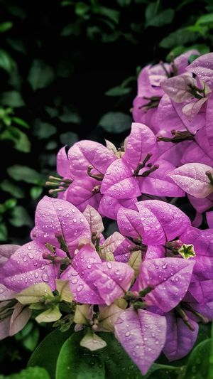 Baby Pink Bougainvillae Variegated Beauty In Nature Color Explosion Gpmzn Art is Everywhere Thing Of Beauty The Freshness Of Dawn Wallpaper Bougainvillae Pink Bougainvillae Baby Pink Bougainvillae Variegated Flower Head Flower Water Pink Color Petal Close-up Plant Blooming In Bloom Plant Life
