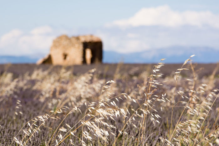 Purple fields in July. Beauty In Nature Built Structure Close-up Cloud - Sky Cloudy Field Focus On Foreground France Hill Idilic Landscape Lavender Lavender Field Old Barn Plant Provence Rural Scene Scenics Tranquil Scene Valensole Windy