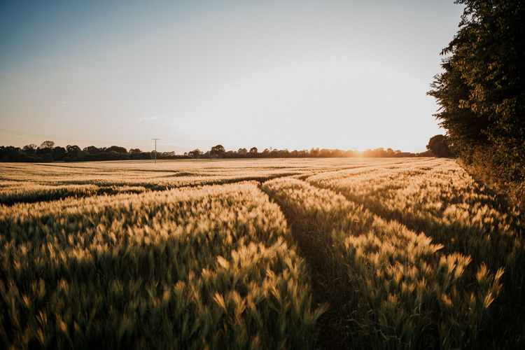 Crop field against summer sunset Agriculture Beauty In Nature Cereal Plant Crop  Day Environment Farm Field Growth Land Landscape Nature No People Outdoors Plant Plantation Rural Scene Scenics - Nature Sky Sunset Tranquil Scene Tranquility Tree