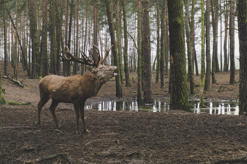 Rut #Brandenburg #Winter #beautiful #beauty #deer #germany #naturelove #naturelovers #photo #photography #pictureoftheday #sexappeal #voteforme #rut #schorfheide #wilderness #wildpark #woods Animals In The Wild Day Forest No People One Animal Outdoors Tree