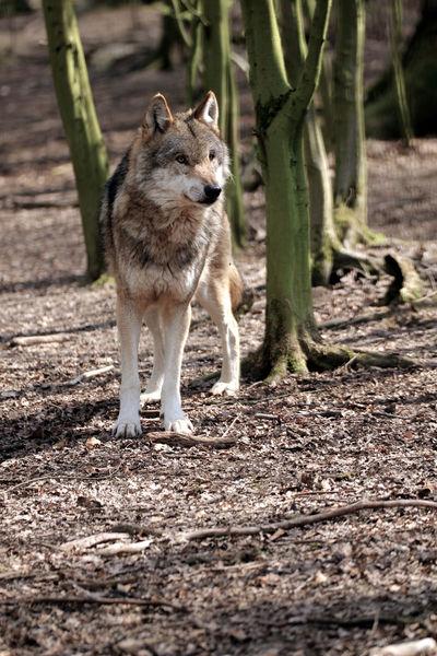 Alertness Animal Animal Themes Animal Wildlife Animals In The Wild EyeEm Animal Lover EyeEm Nature Lover Mammal Nature One Animal Outdoors Watcher Wolf