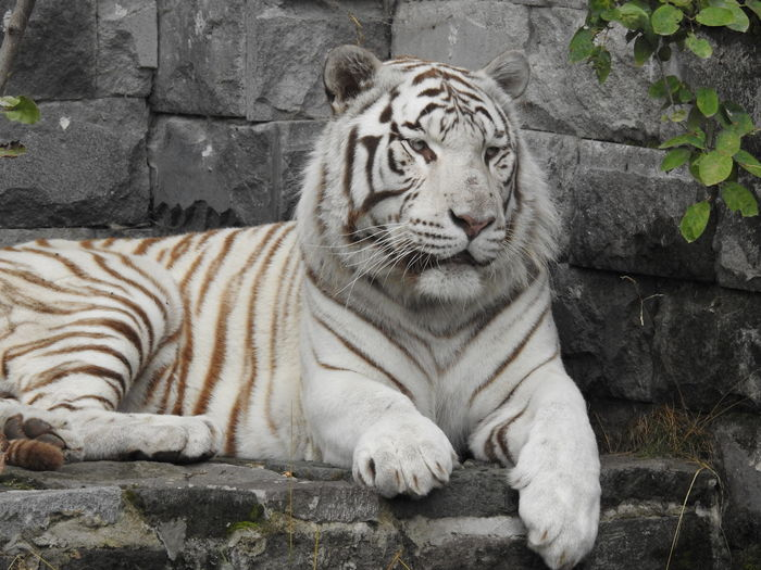 White tiger Animal Animal Themes Animals In Captivity Bleached Tiger Carnivora Feline Resting Tiger White Tiger EyeEmNewHere Be Brave
