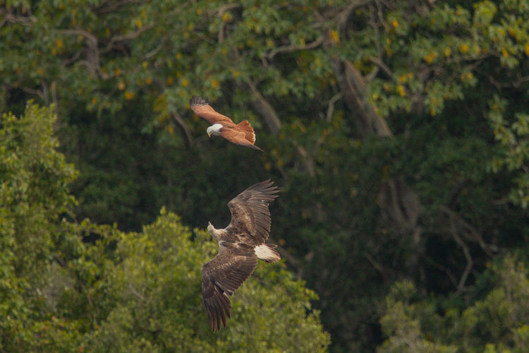 Brahminy kite and white-bellied sea eagle against trees in forest