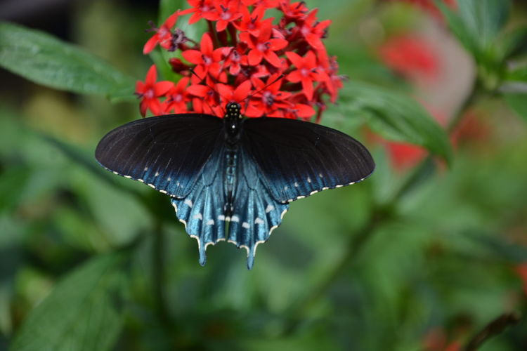 #Swallowtail #Papilio troilus #butterfly Swallowtail Papilio Troilus Swallowtail Butterfly Butterfly Insect Pollination Pollinators Blue And Black