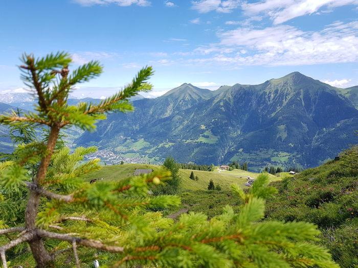 Pinaceae Pine