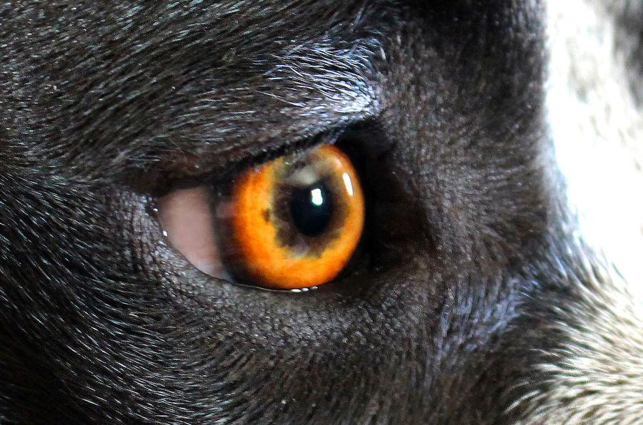 Animal Body Part Animal Eye Animals Beautiful Creature Close-up Eyes Pitbull Love Pitbulls Portrait