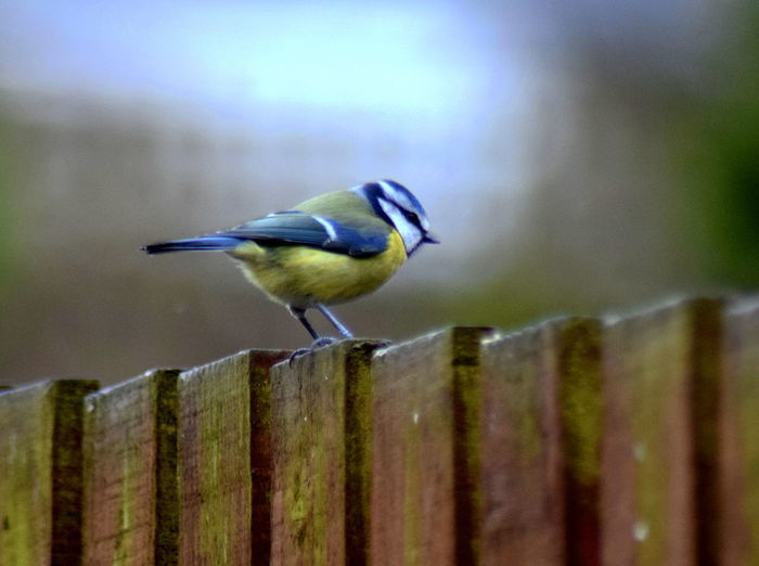 Animal Themes Animal Wildlife Animals In The Wild Bird Close-up Day Nature No People One Animal Outdoors Perching Wood - Material