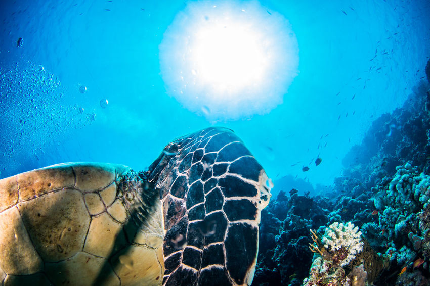 SCUBA Scuba Diving Animal Animal Themes Animal Wildlife Animals In The Wild Blue Marine Nature Sea Sea Life Swimming Turtle UnderSea Underwater underwater photography Water