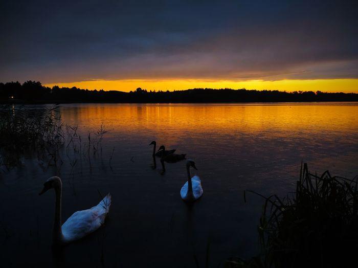 Swans swimming in lake during sunset