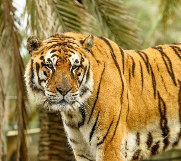 Tiger Nature