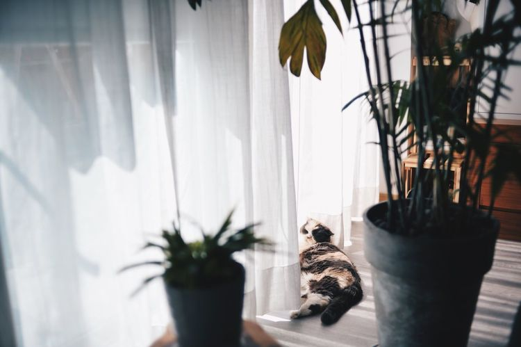 The cat and sunlight Sleeping Cat Scottishfold Relax Plant Indoors  Cat Window Sill Home Interior No People Window Curtain Leaf Nature