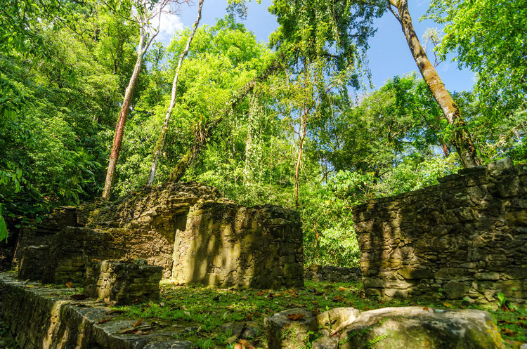 Trees growing out of ruins in the jungle near Palenque Ancient Archeology Building Forest Heritage History Jungle Maya Mayan Mexico Old Palenque Palenque México Palenque, Chiapas Precolumbian Pyramid Religion Ruin Stairs Stairway Stone Temple Unesco UNESCO World Heritage Site View