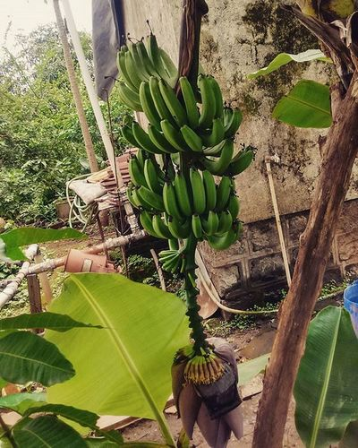 BANANA...!!!!!!!! 😋😋😋🍌🍌🍌🍌🍌🍌 ... ... Banana Bananas Fruit Plants Farm Nature Natural Green Greenworld India ASIA Photooftheday Pic Picoftheday Photographer Traveler Travel 😚 Health Healthy Nutritious Food Vegeterian Vegan
