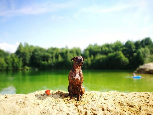 Her König🌞🐯🐕 Dogslife Schönste Strände Beast Staffordshire Bull Terrier HERO Beach Guard EyeEm Selects Water Full Length Sitting Lake Sky Sand Sandy Beach Countryside Non-urban Scene Beach Coast Horizon Over Water