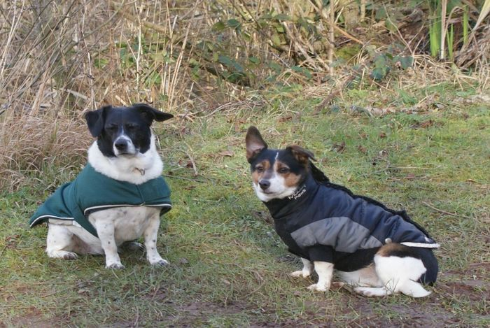 Pet Sitting Dogs Walkies Dog Coat Dog Jack Russell