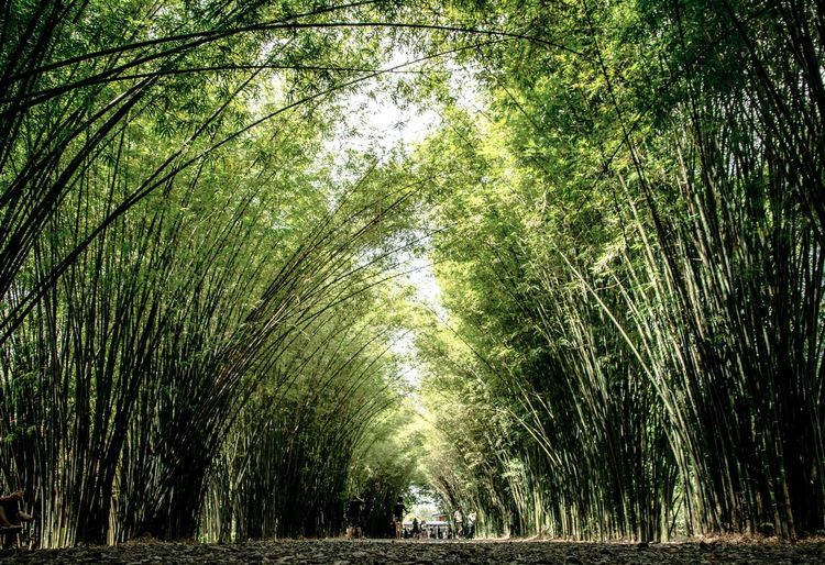 Bamboo tunnel Nature Tree Growth Beauty In Nature Green Color No People Tranquility Scenics Outdoors Low Angle View Tranquil Scene Bamboo Grove Backgrounds Day Sky Freshness