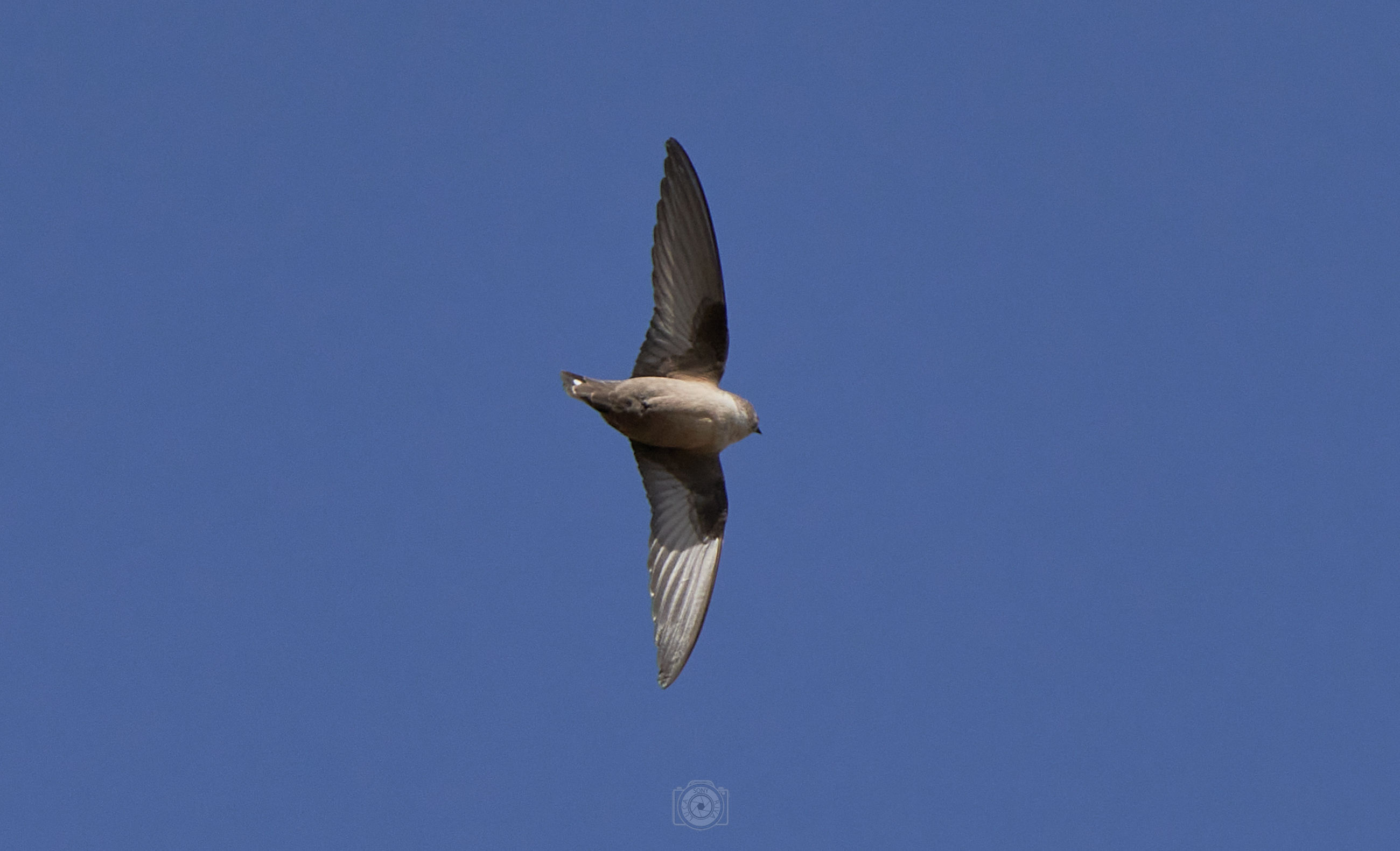 flying, animal, animal themes, bird, animal wildlife, wildlife, one animal, sky, blue, spread wings, animal body part, mid-air, clear sky, no people, nature, wing, low angle view, motion, seabird, bird of prey, outdoors, copy space, day, sunny, animal wing