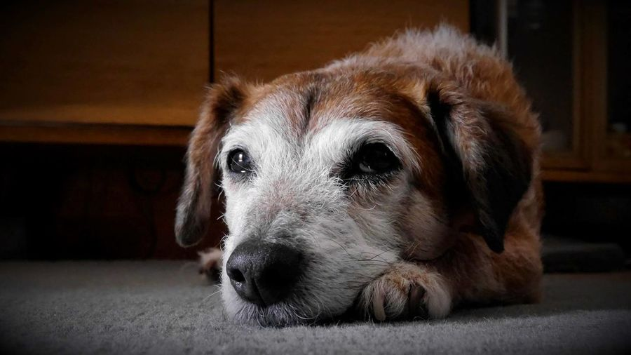 Close-up Dog Domestic Animals Pets