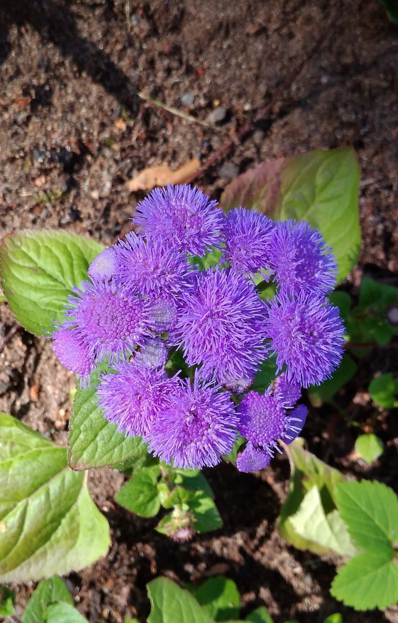 flower, flowering plant, plant, purple, freshness, beauty in nature, growth, fragility, close-up, vulnerability, nature, plant part, leaf, inflorescence, day, high angle view, no people, petal, flower head, focus on foreground