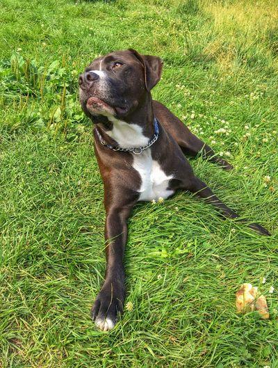 Dog Pitbull Canine Friend Loyal Grass Field